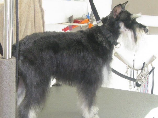 schnauzer mobile cat dog pet grooming las vegas summerlin NV mobile dog grooming mobile pet grooming mobile cat grooming pet cat dog mobile grooming las vegas nv nevada professional all breed groomer summerlin bathing clipping nail trim washing aliente Natures Specialties shampoo spa best teeth cleaning groomers cheap animal home cuts van kitten puppy cutting boutique plaq clnz north west east trimming groomers mobil 89130 89131 89143 89149 89129 89134 89144 89138 89145 89117 89033 89084 89108