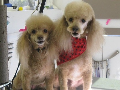 poodle grooming las vegas mobile dog grooming mobile pet grooming mobile cat grooming pet cat dog mobile grooming las vegas nv nevada professional all breed groomer summerlin bathing clipping nail trim washing aliente Natures Specialties shampoo spa best teeth cleaning groomers cheap animal home cuts van kitten puppy cutting boutique plaq clnz north west east trimming groomers mobil 89130 89131 89143 89149 89129 89134 89144 89138 89145 89117 89033 89084 89108